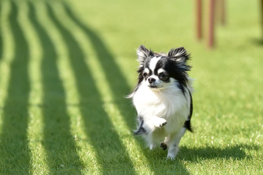 cute chihuahua walking in artificial pet turf